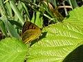 NZ Common copper butterfly, female 01.JPG