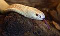 Naja kaouthia albino Genève 24102014 2.jpg