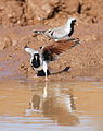 Namaqua dove, Oena capensis, at Mapungubwe National Park, Limpopo, South Africa (18062579496).jpg
