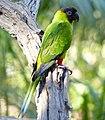 Nanday Parakeet (Nandayus nenday) (27841278424).jpg
