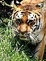 Nanital zoo tiger 01.jpg