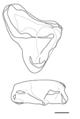 Nanocuris molars.png