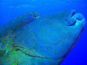 Humphead wrasse - Napoleon fish diving in the Red Sea