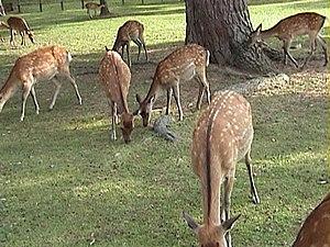 Nara Park - Sika Deer in Nara Park