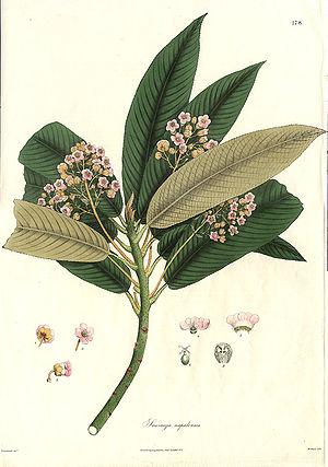 Nathaniel Wallich - Saurauia nepalensis from Plantae Asiaticae Rariores