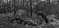 Nationaal Park Drents-Friese Wold. Locatie Dieverzand. Dode boom, belangrijke voedselbron in evenwichtig biotoop 004.jpg