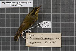 Mountain leaf warbler species of bird
