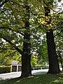 Naturdenkmal Stieleiche (Quercus robur) in der Platnersberganlage 20170825 120509.jpg