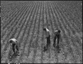 "Near San Lorenzo, California. ""Victory Corps"" weeding garlic field. Thirty-seven high school boys . . . - NARA - 537537.tif"