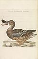 Nederlandsche vogelen (KB) - Anas clypeata (voor255).jpg