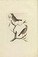 Nederlandsche vogelen (KB) - Luscinia svecica (410b).jpg