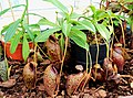 Nepenthes aristolochioides x mira Exhibition of Carnivorous Plants Prague 2016 1.jpg