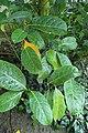 Nephelium lappaceum kz01.jpg