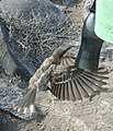 Nesomimus macdonaldi -Espanola, Galapagos, Ecuador -flying at a bottle-8.jpg