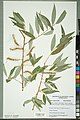 Neuchâtel Herbarium - Salix x sepulcralis - NEU000100737.jpg