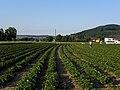 Neulengbach - Erdbeerfeld.jpg