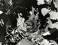 Nihoa Millerbird, Nihoa Island, 1962. (5988083070).jpg