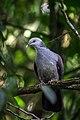 Nilgiri wood pigeon.jpg