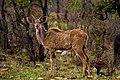 Nkomazi Game Reserve, South Africa (22639156062).jpg