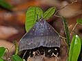 Noctuid Moth (Ischyja inferna) female (15665246876).jpg