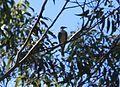 Noisy Friarbird. (14570573461).jpg
