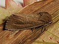 Nonagria typhae - Bulrush wainscot - Тростниковая совка большая (40235356665).jpg