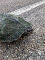 Northern Map Turtle (42972072452).jpg