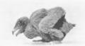 NovitatesZoologicae18 532 Gypaetus barbatus nestling.png