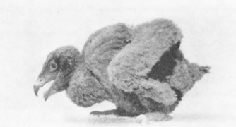 Nestlings are covered in dark down feathers