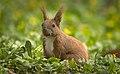 Nutty squirrel (51159258363).jpg
