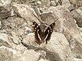 Nymphalidae - Apatura iris - 1.jpg