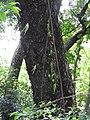 Oberonia verticillata-1-muluvi-yercaud-salem-India.jpg