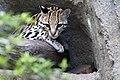Ocelot Houston Zoo (4731666724).jpg