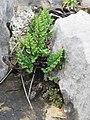Oeosporangium acrosticum 39331037.jpg
