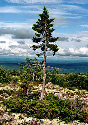Picea abies - Old Tjikko