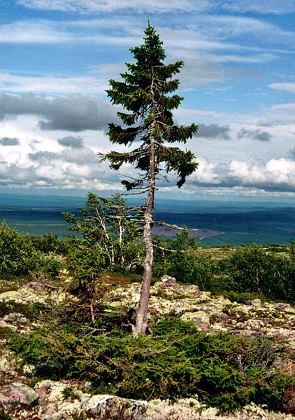 File:Old-Tjikko-2011-07-19-001.jpg