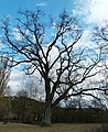 Old Oak - panoramio.jpg