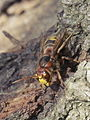 Old World Hornet - Vespa crabro (14376397056).jpg