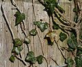 Old post with ivy - Flickr - S. Rae.jpg