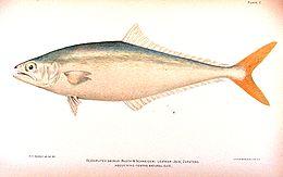 Oligoplites saurus