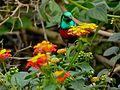 Olive-bellied Sunbird (Cinnyris chloropygius) (6930453958).jpg