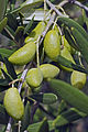 Olives (Lucques) Cl J Weber (23158666252).jpg