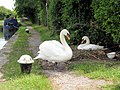 On Guard - The cob swan guards the pen on her nest on the canal towpath - geograph.org.uk - 1495389.jpg