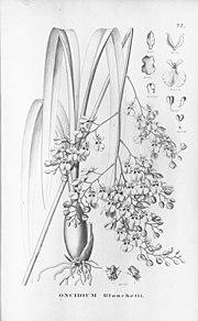 Oncidium blanchetii.jpg