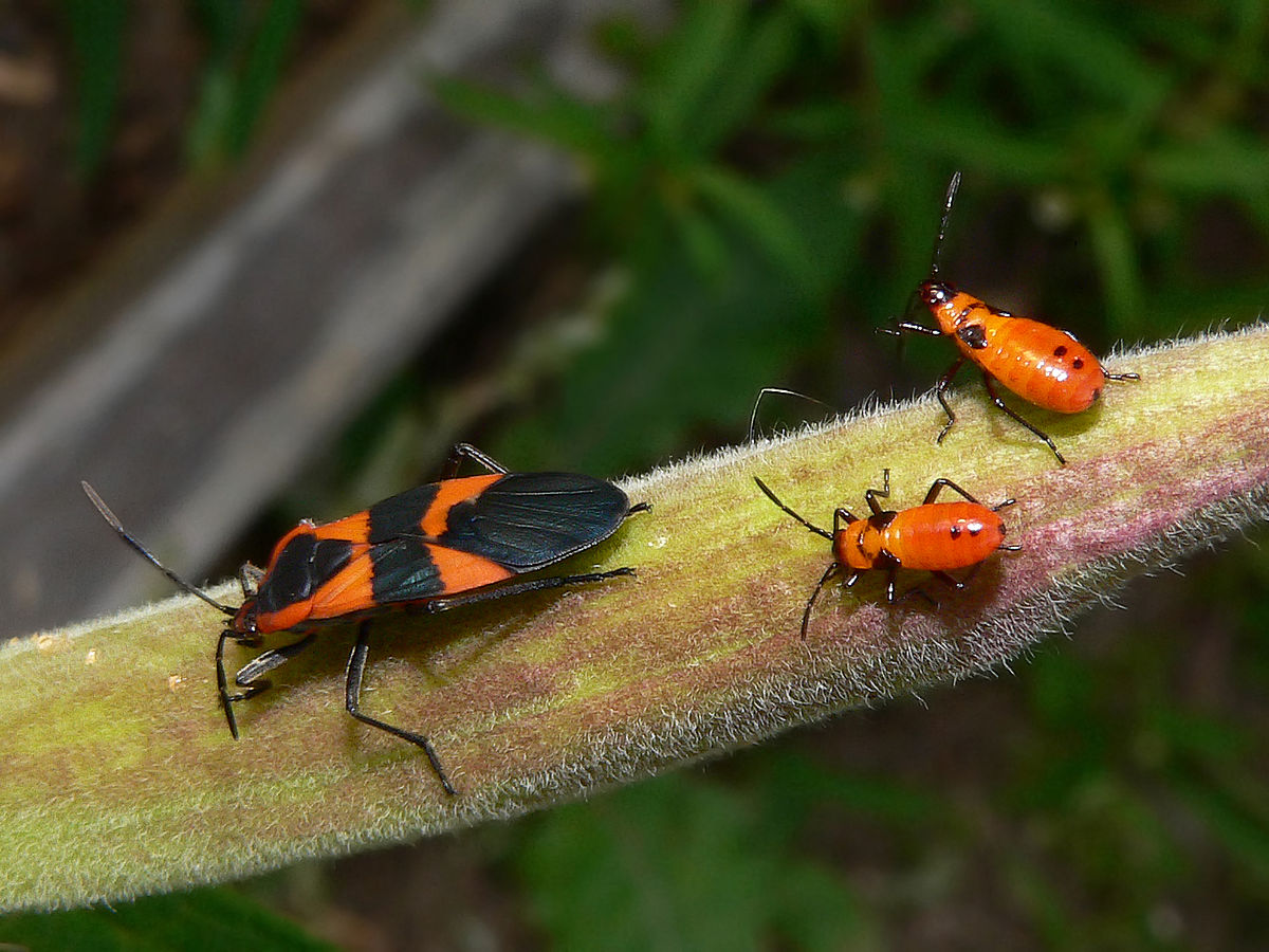 Large milkweed bug - Wikipedia