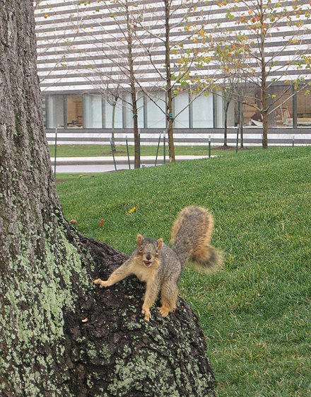 Squirrel outside the Cleveland Museum of Art