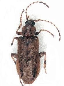Chalcodryidae