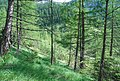Open-larch--Larix-sp.jpg