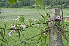 Operculina turpethum, whole flowering plant.jpg