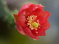 Opuntienblüte Opuntia spec.-001.jpg